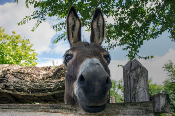 Portrait of a donkey The series was shoot on June 16th 2018 in the village Belo Blato (Serbia, Europe) at a friend's farmyard with his permission. mule stock pictures, royalty-free photos & images