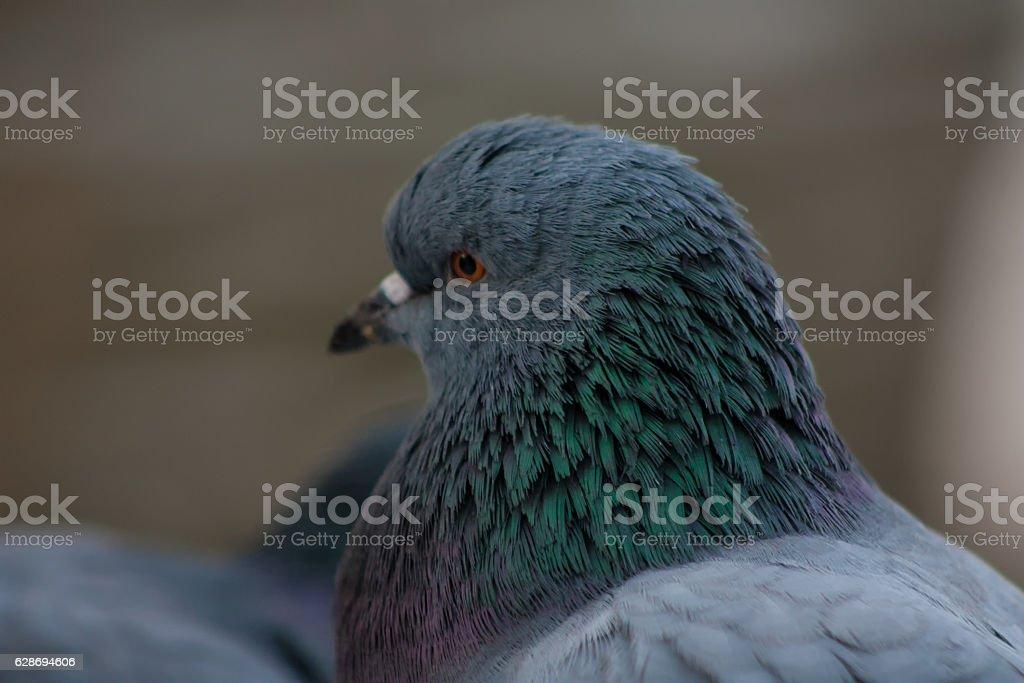 Portrait of a dove stock photo