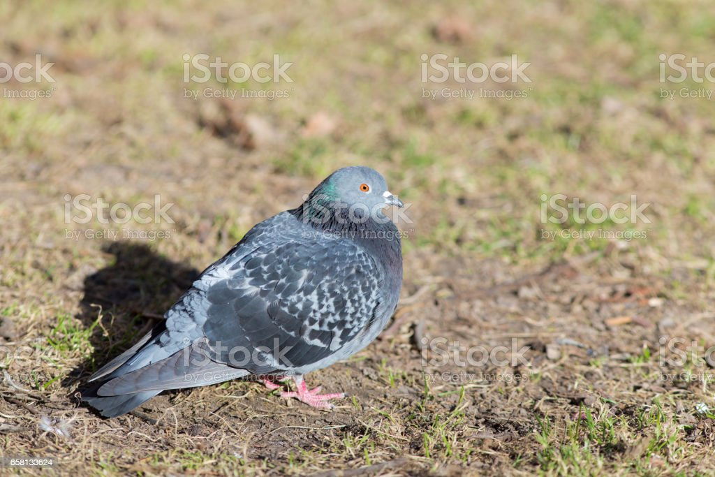 Portrait of a dove royalty-free stock photo