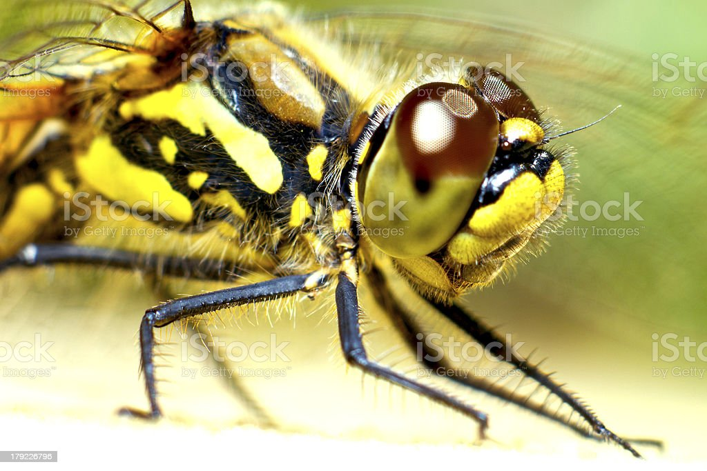Portrait of a dragonfly royalty-free stock photo