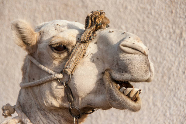 Portrait of a dromedary camel with head collar. stock photo