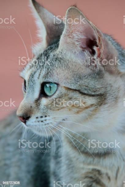 portrait of a dun cat of green eyes