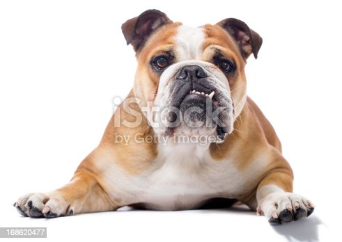Portrait of a purebred English Bulldoghttp://bit.ly/16Cq4VM