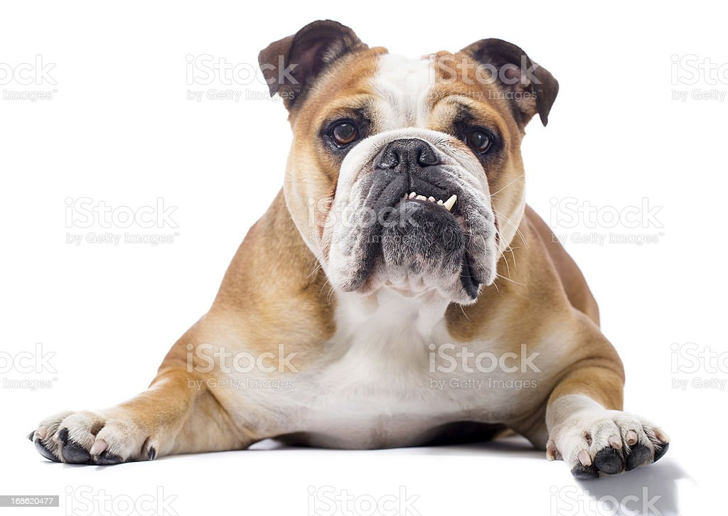 Portrait of a English Bulldog stock photo