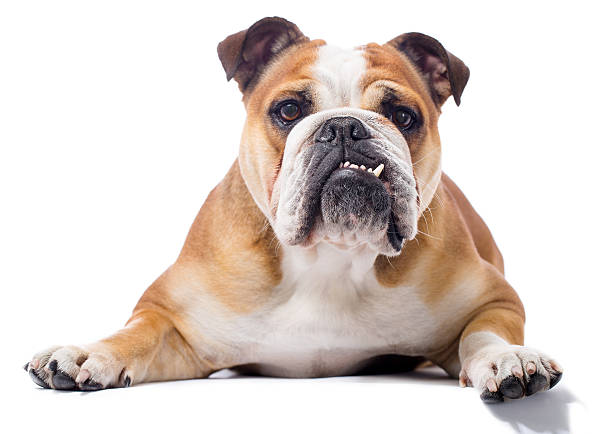 Portrait of a English Bulldog Portrait of a purebred English Bulldoghttp://bit.ly/16Cq4VM bulldog stock pictures, royalty-free photos & images
