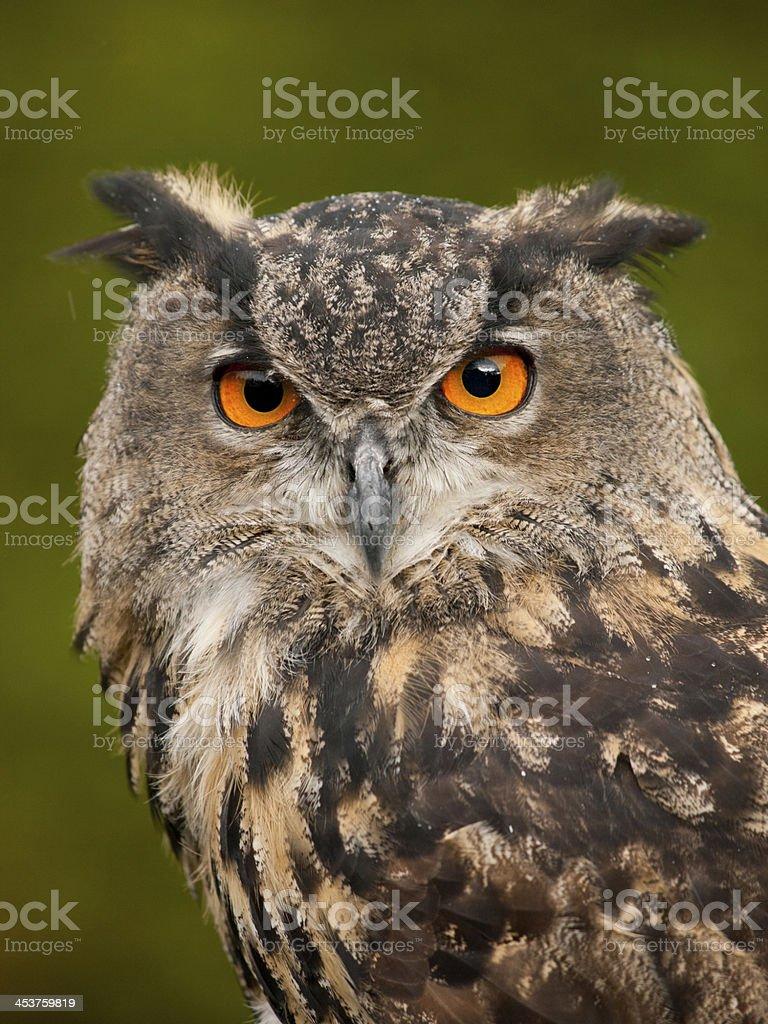 Portrait of a Eurasian Eagle-Owl stock photo