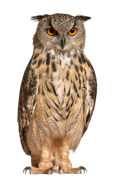 portrait of a eurasian eagle-owl - owl stock photos and pictures