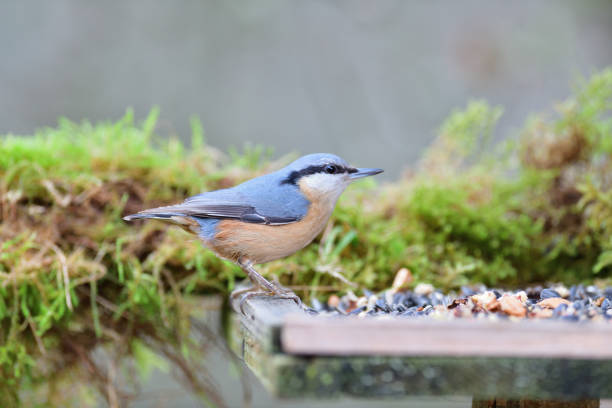 Portrait of a eurasian nuthatch on a feeder rack full of seeds and sunflowers stock photo
