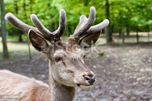 istock Portrait of a fallow-deer 184109949