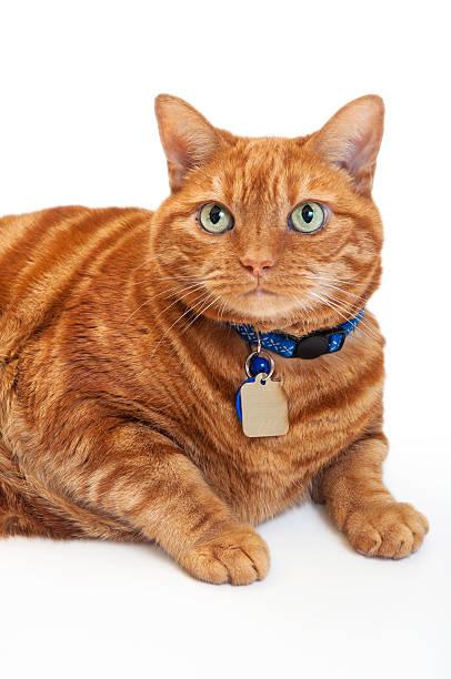 Portrait of a fat orange tabby cat picture id179763210?b=1&k=6&m=179763210&s=612x612&w=0&h=oecyemtnyl6um9ry1iaeik8tsm hbpglwaonoobzlaa=