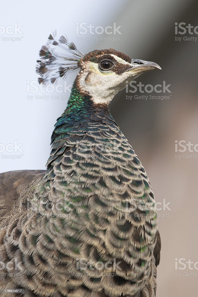 Portrait of a female Peacock royalty-free stock photo