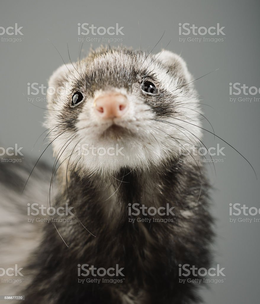 Portrait of a ferret looking to the camera stock photo