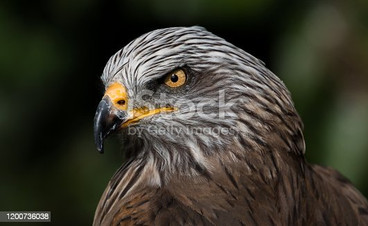 Portrait of a Feruginous Hawk with piercing yellow eyes