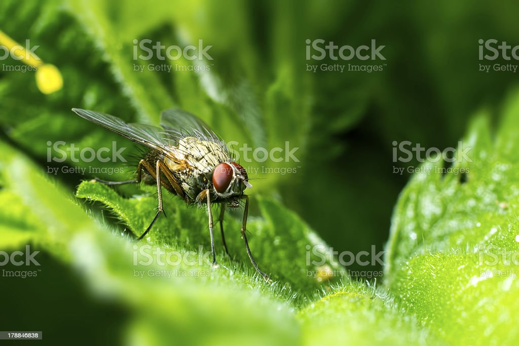 Portrait of a fly royalty-free stock photo