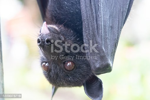 Portrait of a flying fox close-up. Animal, wildlife, exotic, cute, wings, unusual, mammals