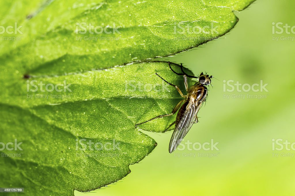 Portrait of a forest fly royalty-free stock photo