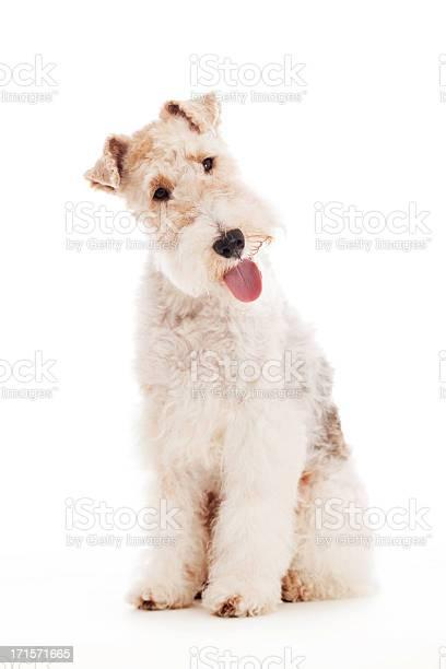 Portrait of a fox terrier picture id171571665?b=1&k=6&m=171571665&s=612x612&h=s4j2cvidawf5 pk kzdqzijuhmphjnjgi1 7t36z hc=