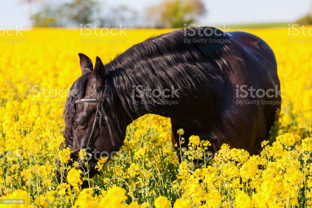 portrait of a Friesian horse royalty-free stock photo