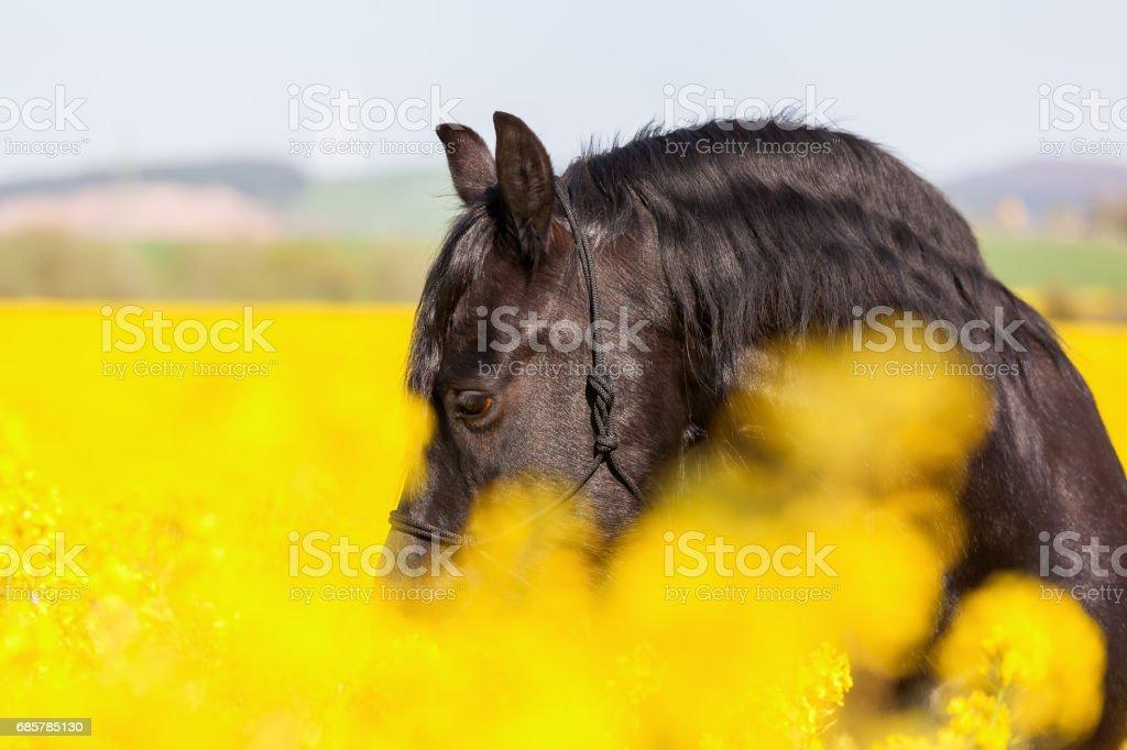 portrait of a Friesian horse Lizenzfreies stock-foto