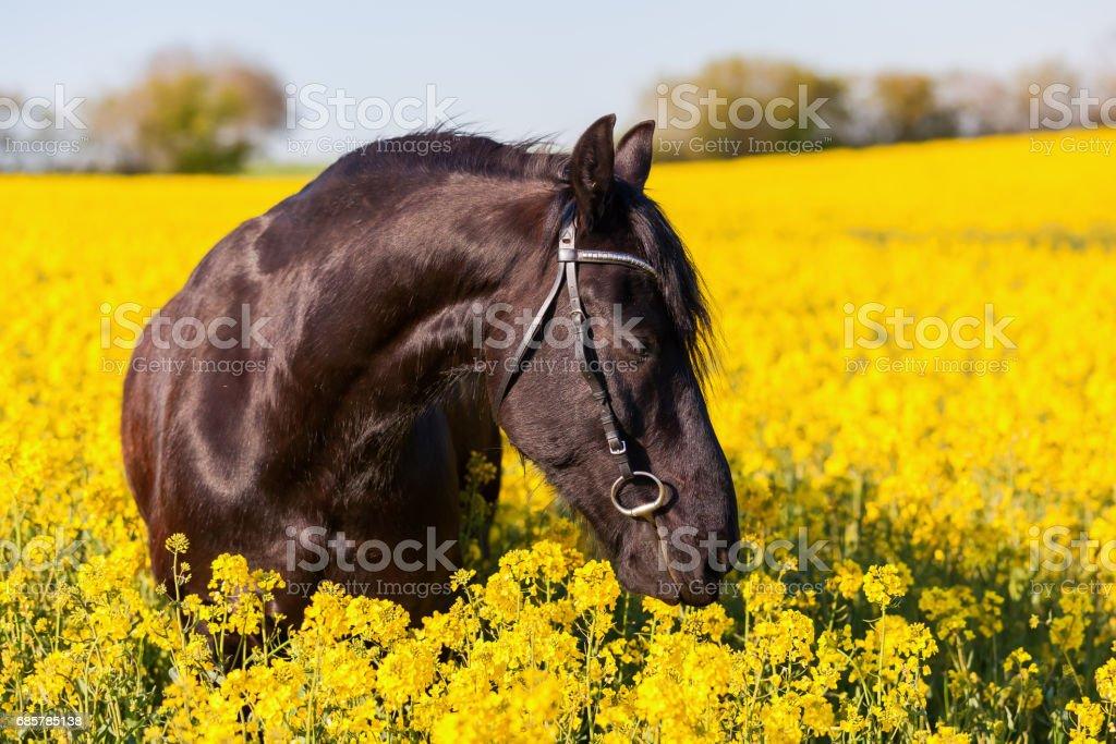 Retrato de un caballo frisón foto de stock libre de derechos