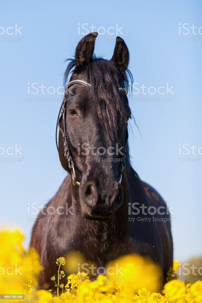 portrait of a Friesian horse Стоковые фото Стоковая фотография