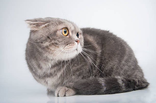Portrait of a frightened cat. Breed Scottish Fold. Portrait of a frightened cat. Breed Scottish Fold. Studio photography on a light gray background. scared cat stock pictures, royalty-free photos & images