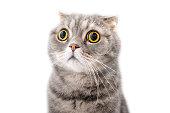 Portrait of a frightened cat closeup. Breed Scottish Fold.