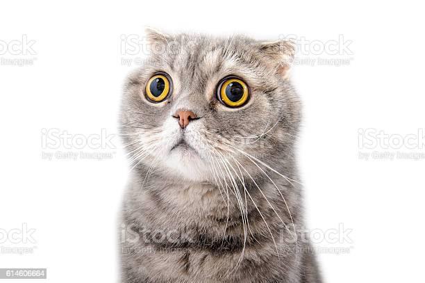 Portrait of a frightened cat closeup breed scottish fold picture id614606664?b=1&k=6&m=614606664&s=612x612&h=iin3xdsnq9v94texmh4fzqxanr6jqrsvn7prdy43qdq=
