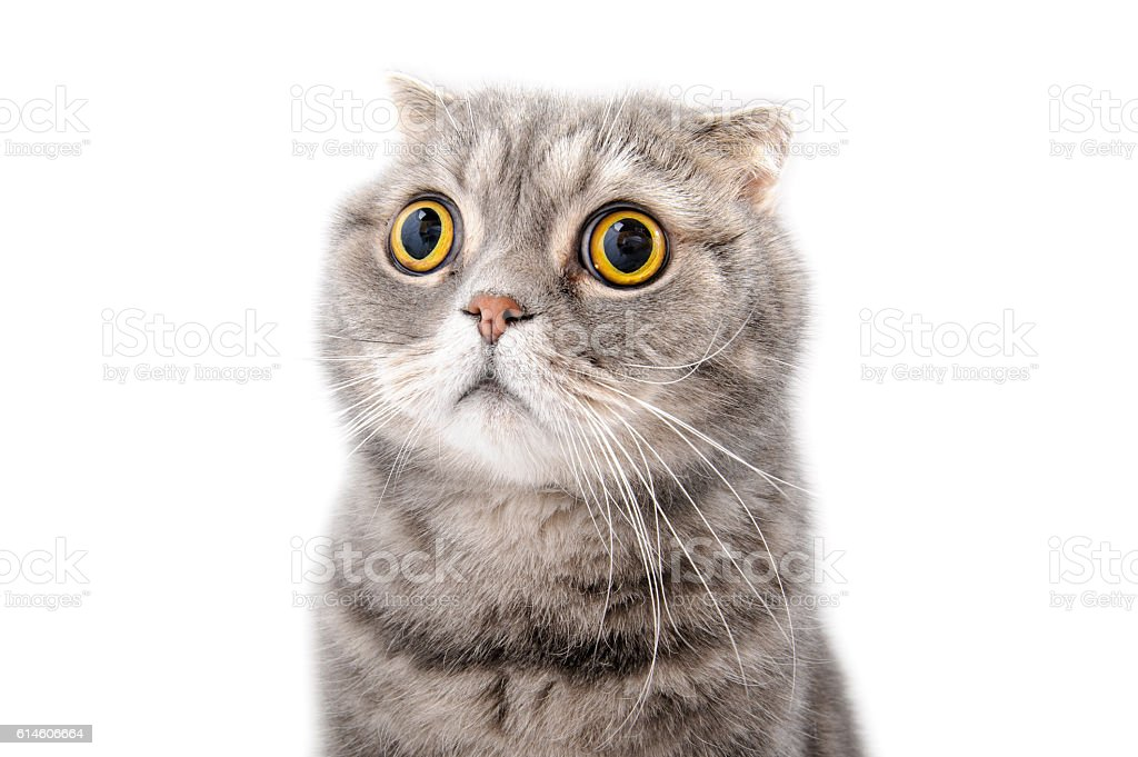 Portrait of a frightened cat closeup. Breed Scottish Fold. stock photo