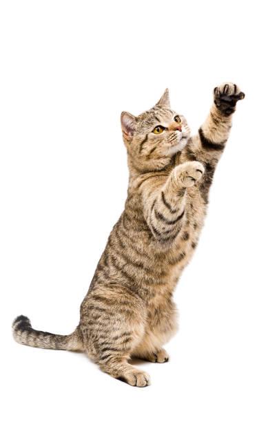 Portrait of a frisky playful cat scottish straight picture id1010812722?b=1&k=6&m=1010812722&s=612x612&w=0&h=h3ehf1o8a9k8cubmgep6udfpydmhwvaw0wpvg29fuxq=