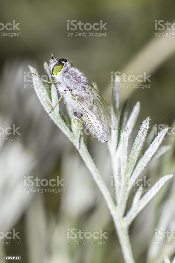 Portrait of a frostfly royalty-free stock photo