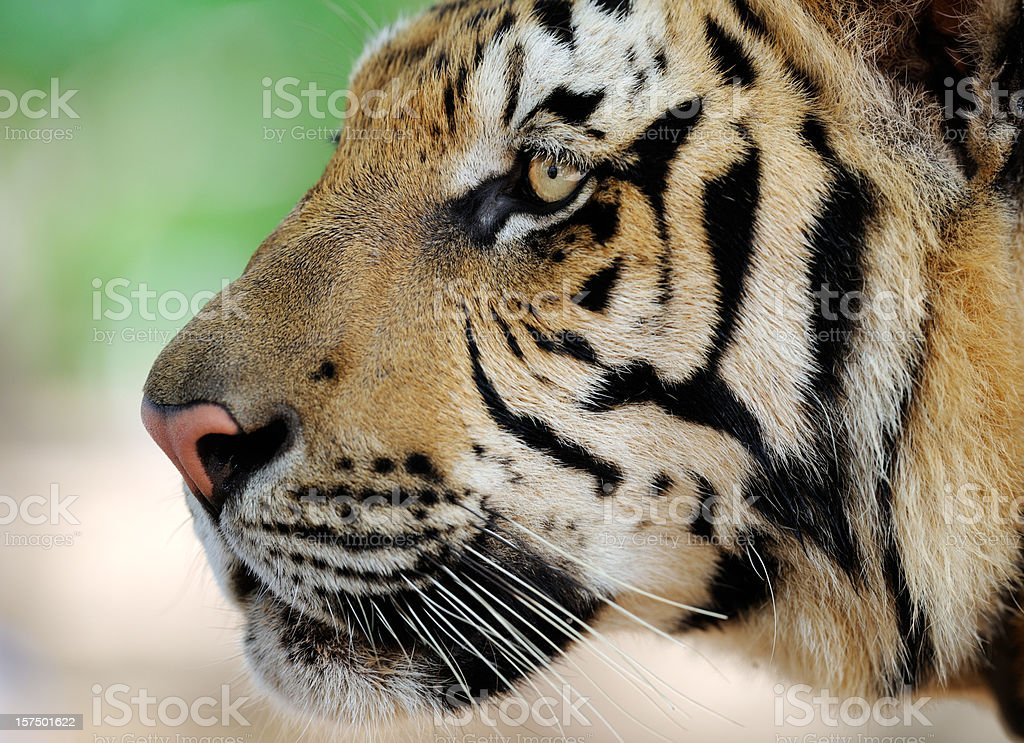 Portrait of a full grown Bengal Tiger in Wildlife (XXXL) royalty-free stock photo