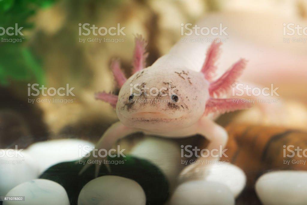 Retrato de un axolotl divertido - foto de stock