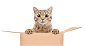 Portrait of a funny cat looking out of the box isolated on white background