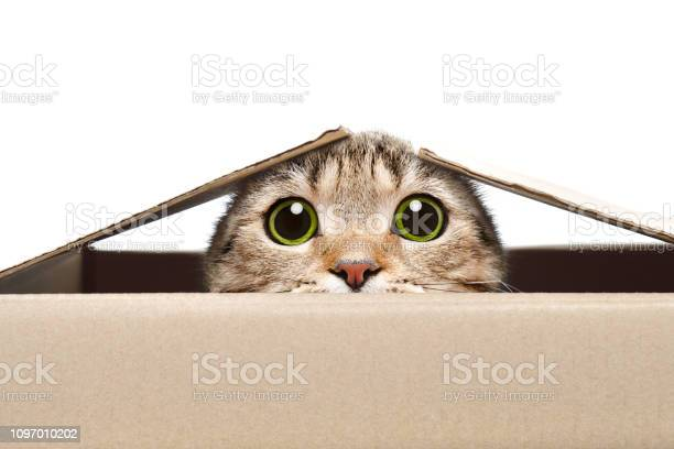 Portrait of a funny cat looking out of the box picture id1097010202?b=1&k=6&m=1097010202&s=612x612&h=6m8thfbfbxllrjxzeuwwpqc n 72kbtegywkmr3zt3e=