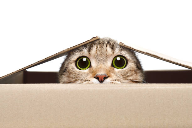 portrait of a funny cat looking out of the box - sorpresa foto e immagini stock