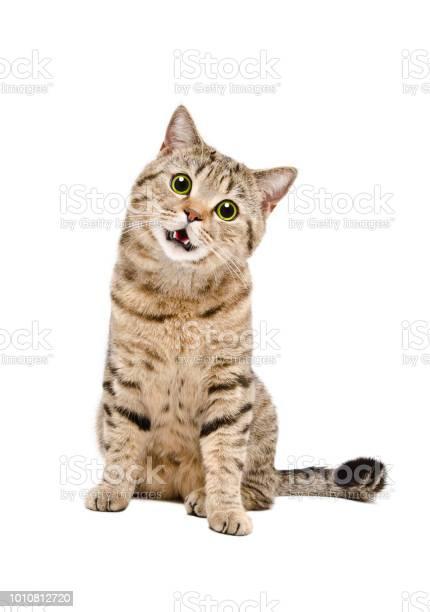 Portrait of a funny cat scottish straight with green eyes picture id1010812720?b=1&k=6&m=1010812720&s=612x612&h=sxpnu5dhohoyhfhwwvugukbq6l3cfomfae1meki5lus=