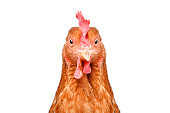 istock Portrait of a funny chicken, closeup, isolated on white background 1132026121