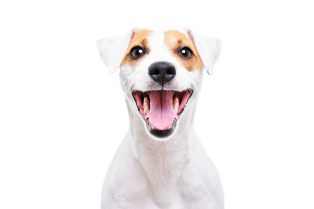 Portrait of a funny dog Jack Russell Terrier, closeup, isolated on white background Portrait of a funny dog Jack Russell Terrier, closeup, isolated on white background animal teeth stock pictures, royalty-free photos & images