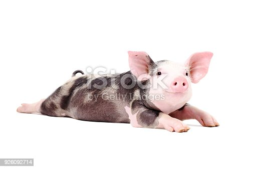 Portrait of a funny little pig, lying with legs outstretched. Isolated on white background