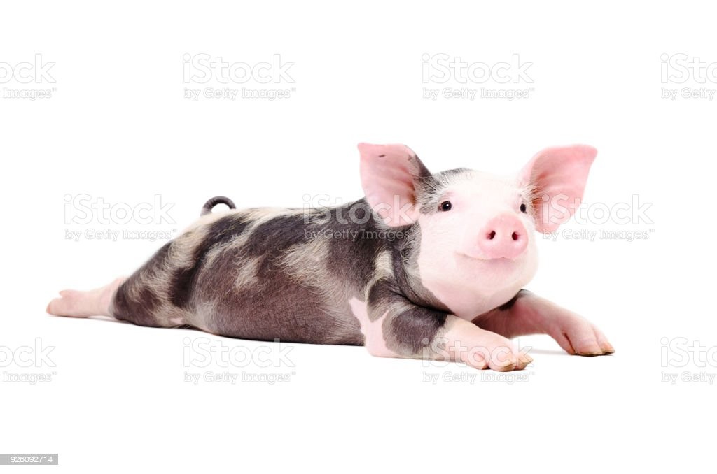 Portrait of a funny little pig, lying with legs outstretched stock photo