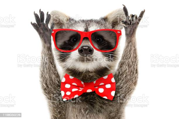 Portrait of a funny raccoon in sunglasses and in bow showing a rock picture id1158030226?b=1&k=6&m=1158030226&s=612x612&h=zzt6fsnwxnjwcrfdjodajaht dai8gketdlkaddphwq=