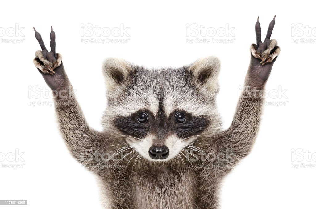 Portrait Of A Funny Raccoon Showing A Sign Peace Isolated On White Background Stock Photo ...