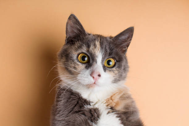 portrait of a funny scared cat, domestic pet on a studio background portrait of a funny scared cat with large brown eyes, an ashy domestic pet on a studio background scared cat stock pictures, royalty-free photos & images