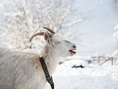 Portrait of a funny white goat with beautiful horns. Weather cold, winter, snow