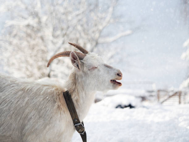 Portrait of a funny white goat with beautiful horns. Weather cold, winter, snow stock photo