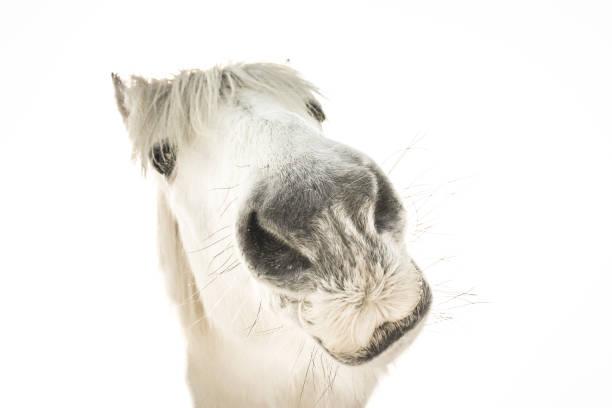 porträt von einem lustigen weißen pferd - lustige pferde stock-fotos und bilder