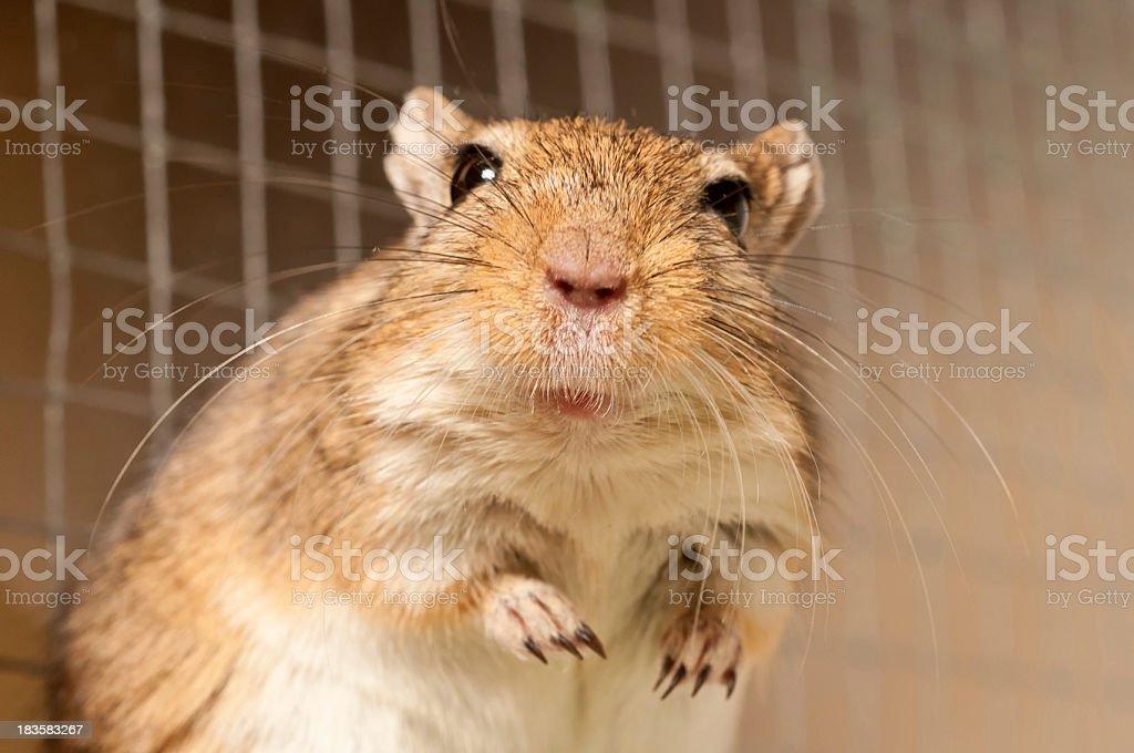 Portrait of a Gerbil stock photo