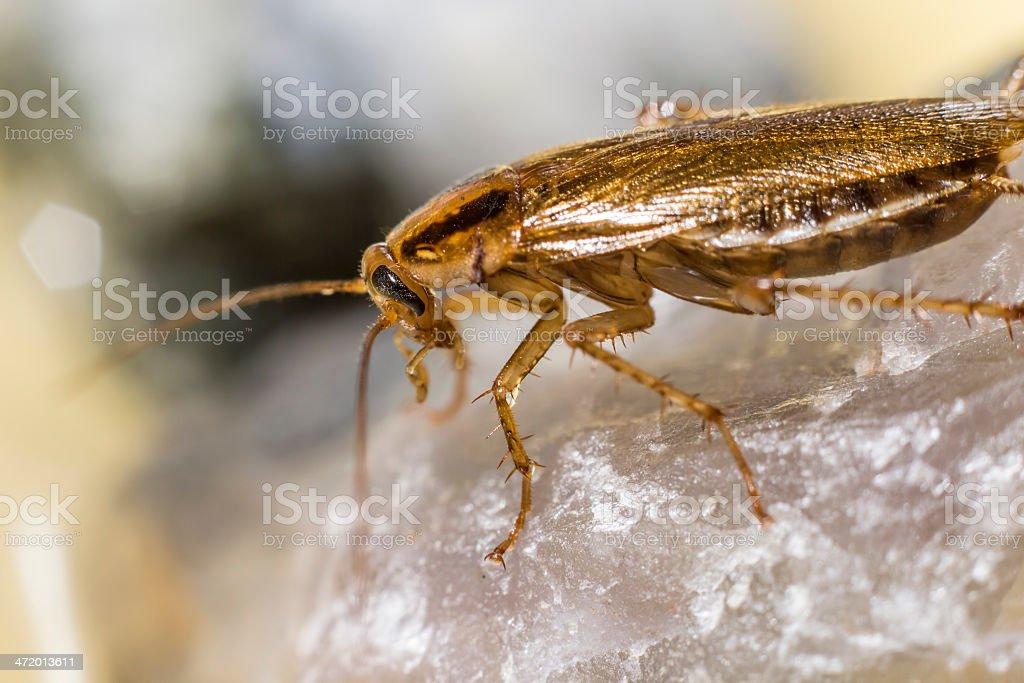 Portrait of a German cockroach  (Blattella germanica) royalty-free stock photo