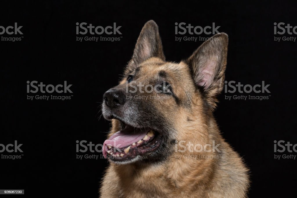 Portrait of a german shepherd dog stock photo